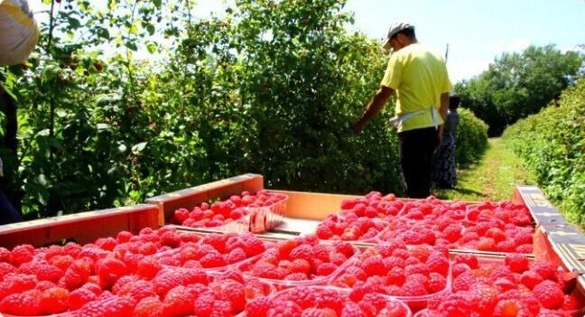 6. Сербия - один из крупнейших в мире производителей малины