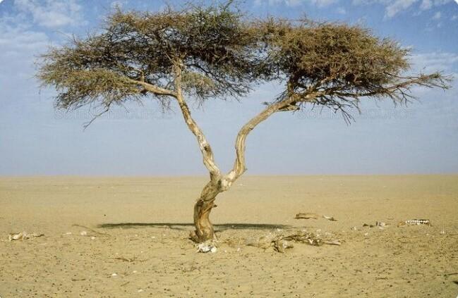 """27. Нигер официально считается родиной """"самого одинокого дерева в мире"""""""