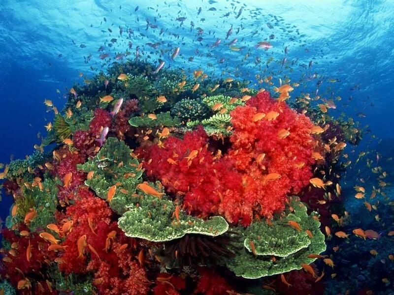 Кораллы, коралловый риф