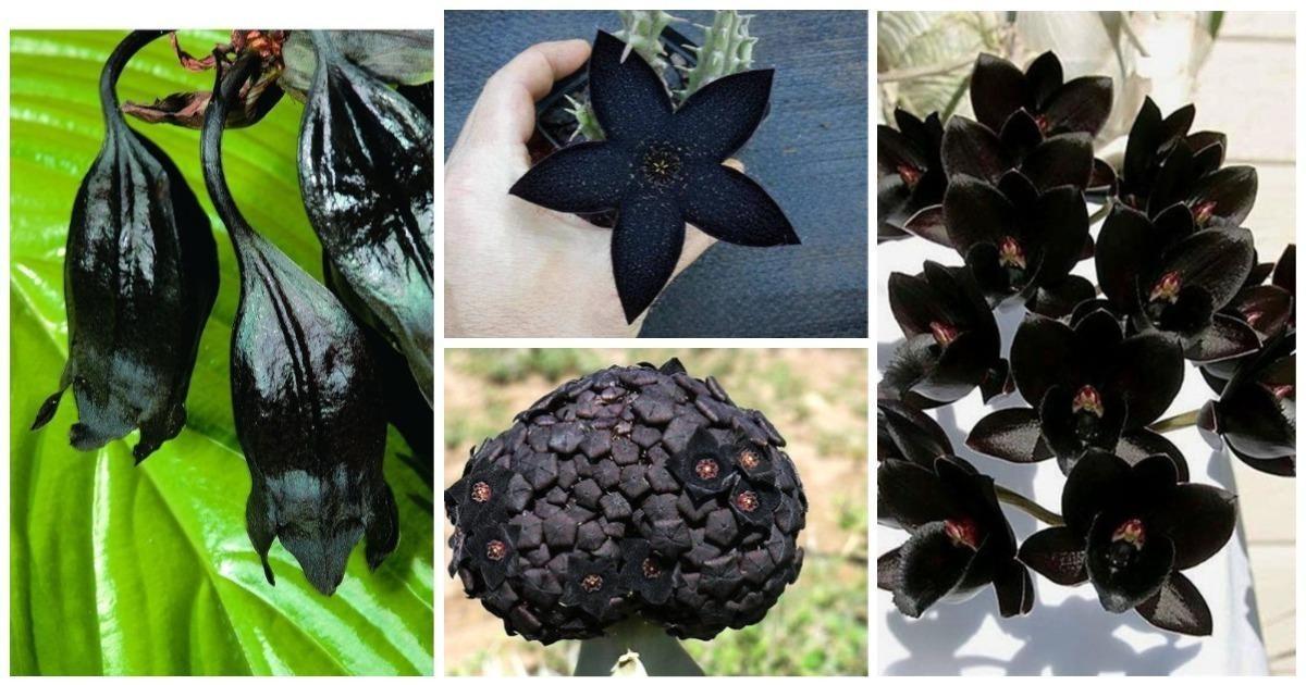 """Конечно, большинство из этих растений выведены искусственно - человек всегда стремился """"прогнуть"""" природу под свои желания. Но она сама придумала не мало натуральных черных растений"""
