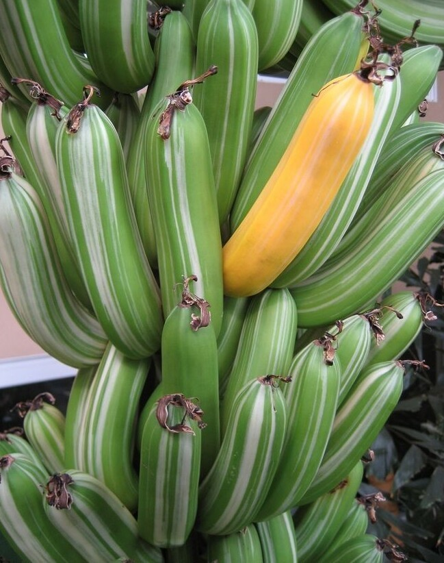 Поразительная трава: бананы, какими выихещеневидели